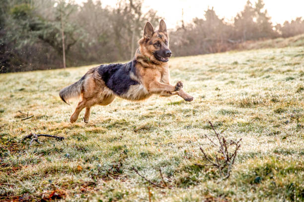 German shepherd dog in action picture id943166332?b=1&k=6&m=943166332&s=612x612&w=0&h=k4e7x i3uffu wo0lpkxvn14bhg1stptnrtg5ae9bo0=