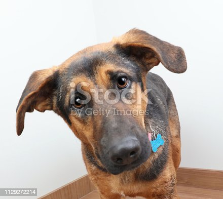 German Shepherd Dog in animal shelter hoping to be adopted
