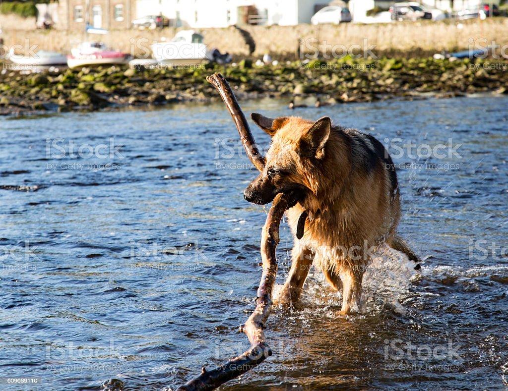 German Shepherd Dog in water stock photo