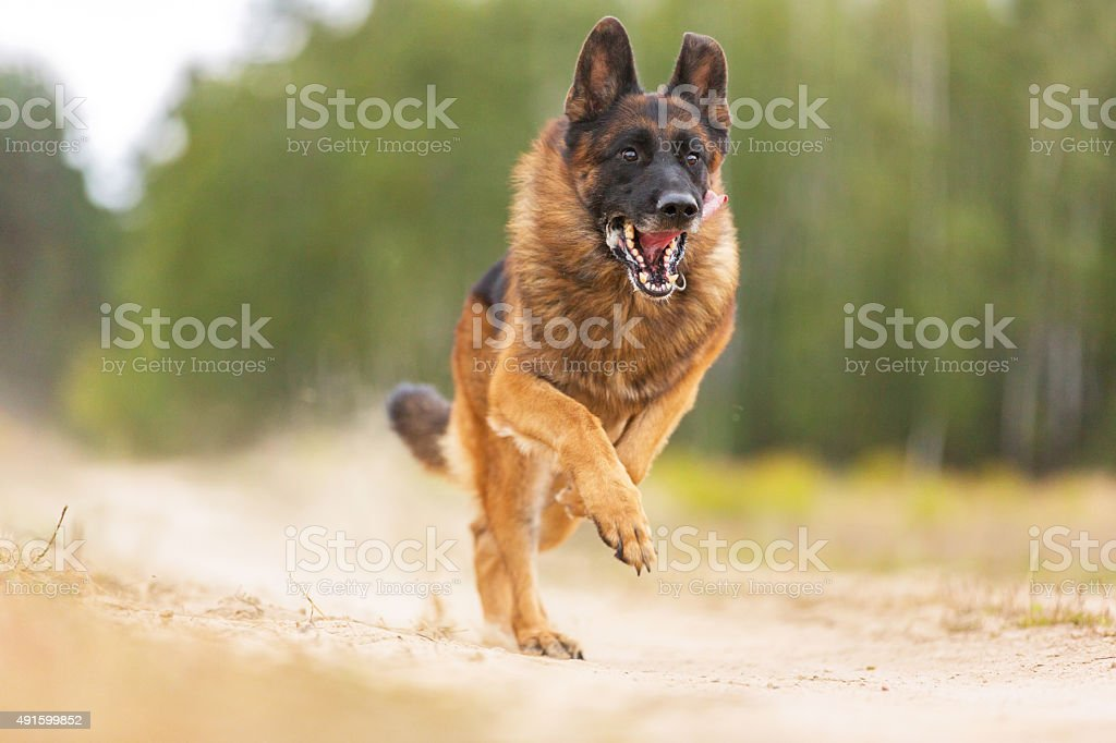 German shepherd dog jumping in autumn stock photo