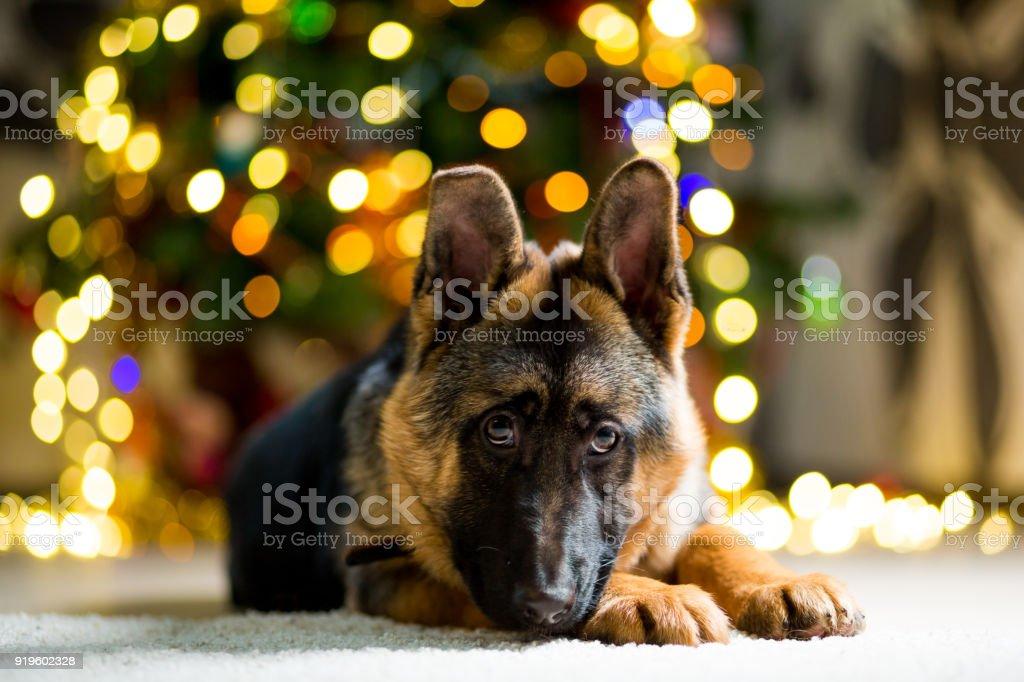 German Shepherd dog lies on the floor near the Christmas tree stock photo