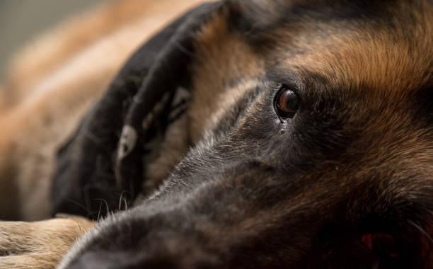 Berger allemand chien Regardant l'objectif - Photo