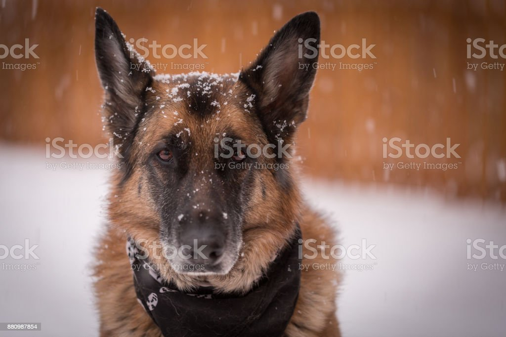 Chien de berger allemand, regardant la caméra tandis que les flocons de neige tombent autour de - Photo