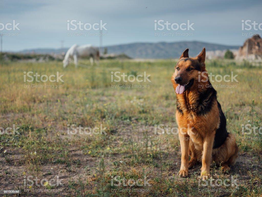 German Shepherd Dog Lying Down Outdoors