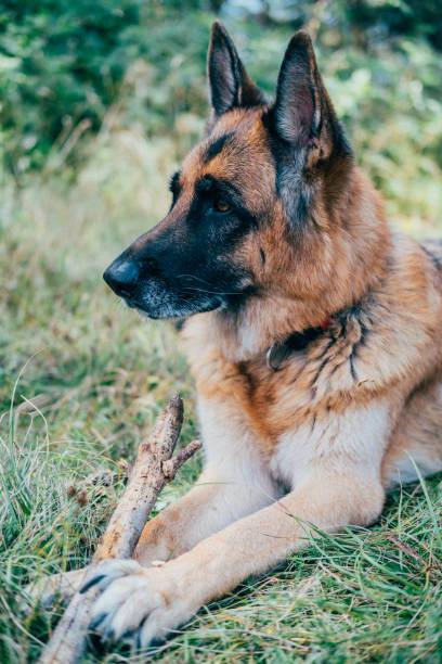 German Shepherd Dog Lying In The Meadow