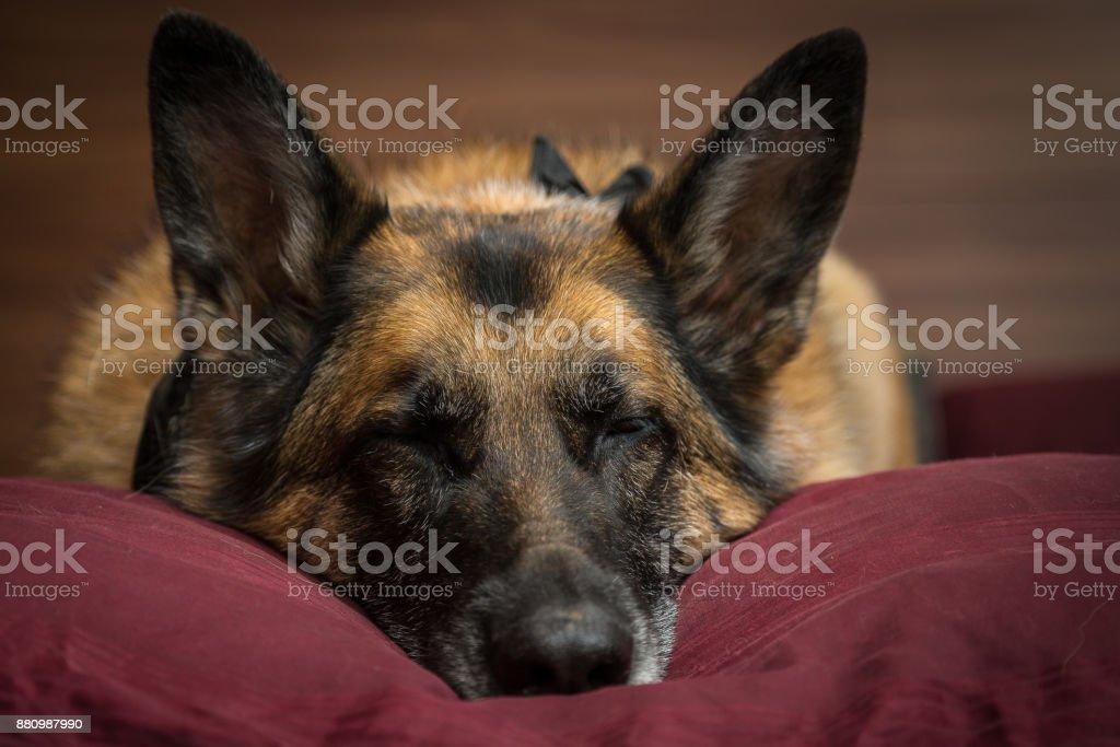 Chien de berger allemand, faire la sieste sur l'oreiller - Photo