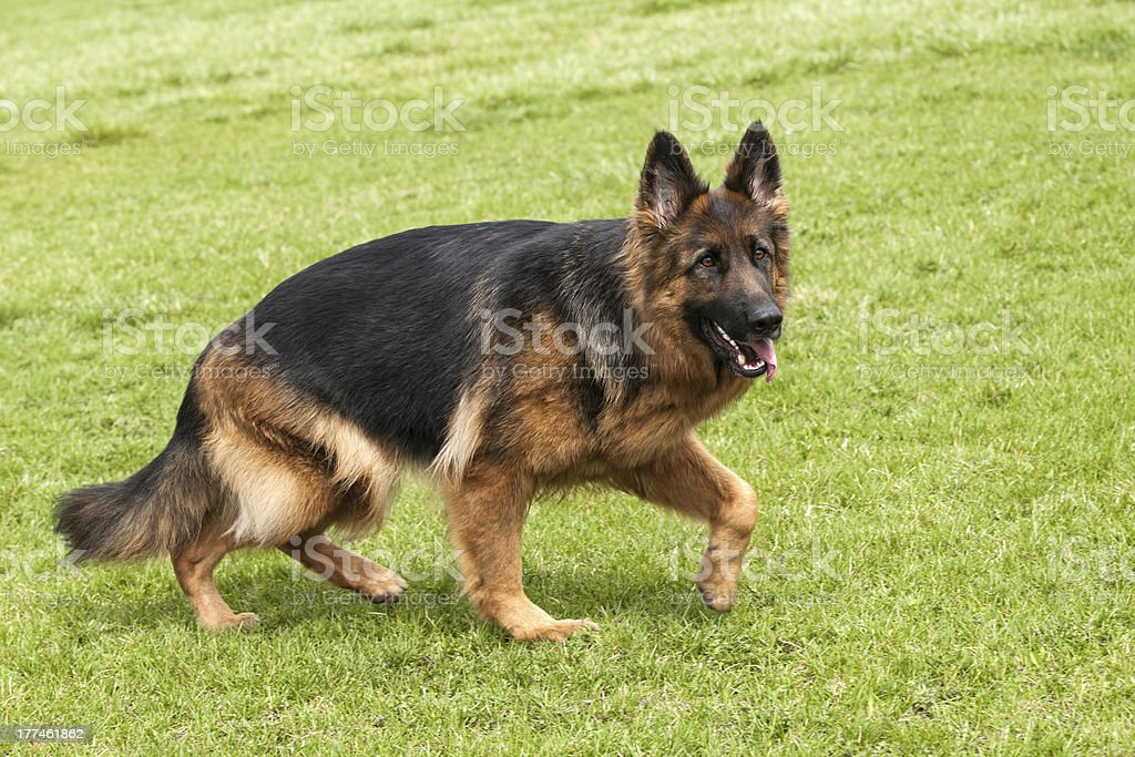 German Shepherd Dog on green grass royalty-free stock photo