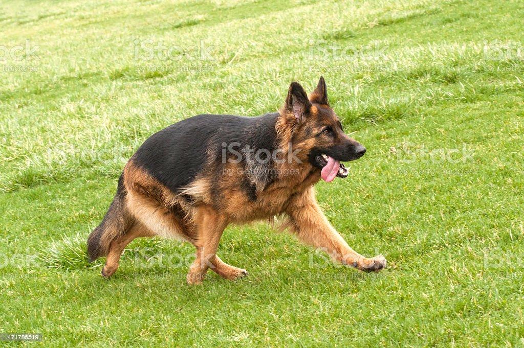 German Shepherd Dog on green grass royalty-free stock photo