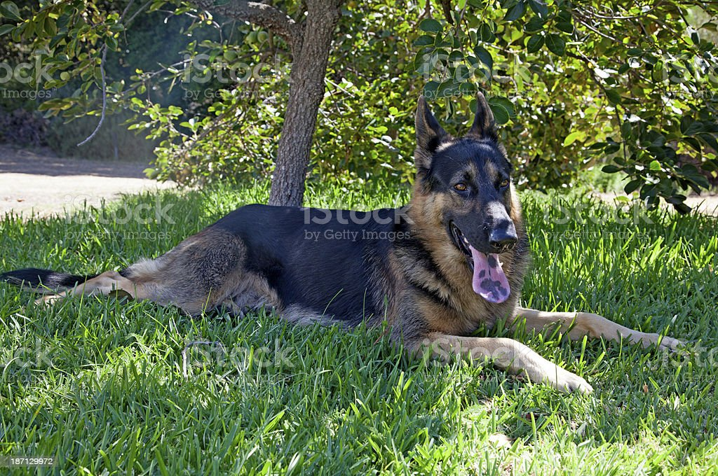 German Shepherd Dog royalty-free stock photo