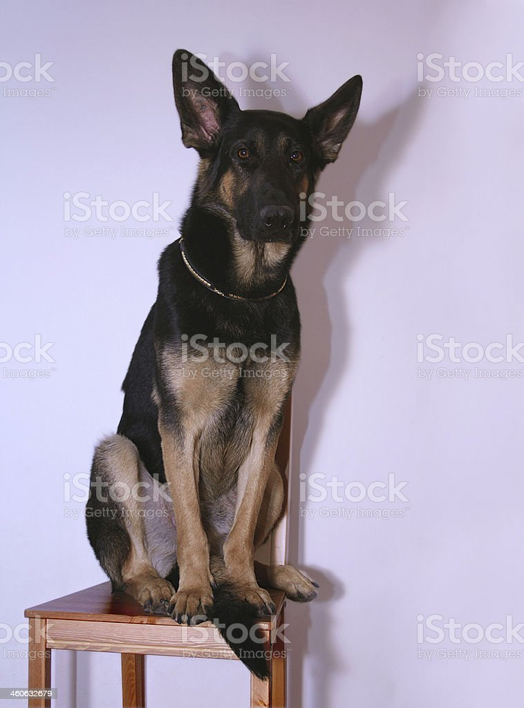 puppy, young, German shepherd, breed business, witty, training, dog...