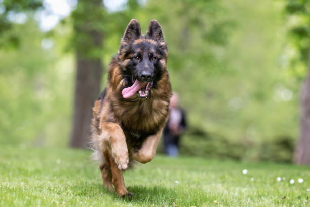 German shepherd Hund  – Foto