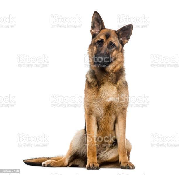 German shepherd dog picture id889679748?b=1&k=6&m=889679748&s=612x612&h=c eqy6gb6 3tlqza1h7nz8rd6q2yqgqwqvou9cekcky=