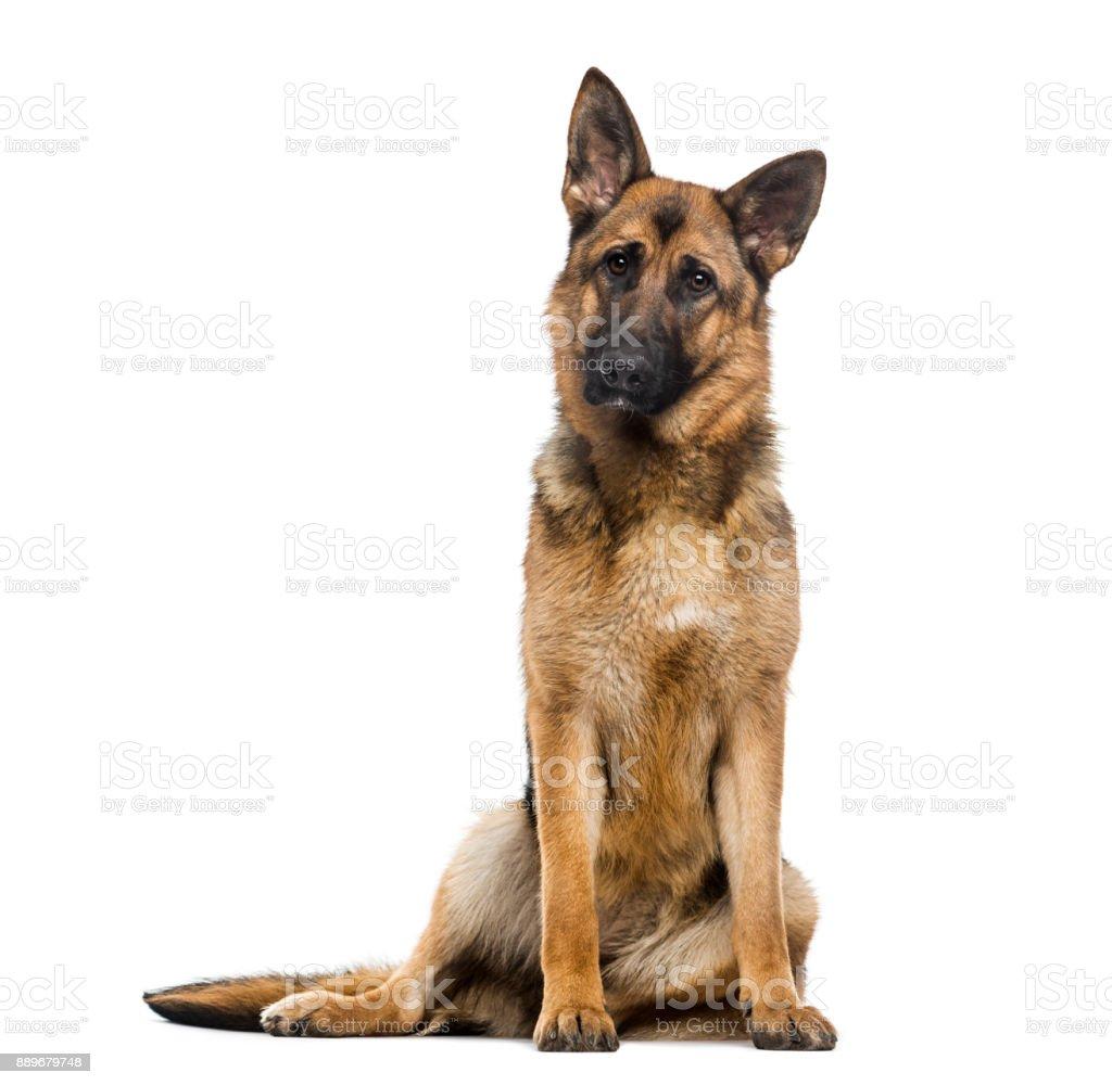German Shepherd Dog (1 year old) stock photo