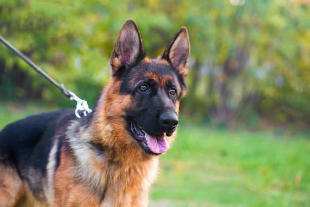 german shepherd hund - dressierter hund stock-fotos und bilder