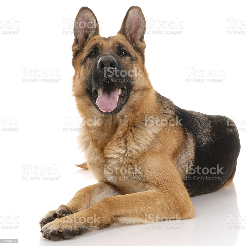 German shepherd dog royaltyfri bildbanksbilder