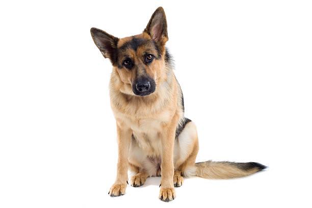 German shepherd dog picture id97684731?b=1&k=6&m=97684731&s=612x612&w=0&h= ibqoa h2dddo92b boxxcdhys9k miuk2s9 zmxyuu=