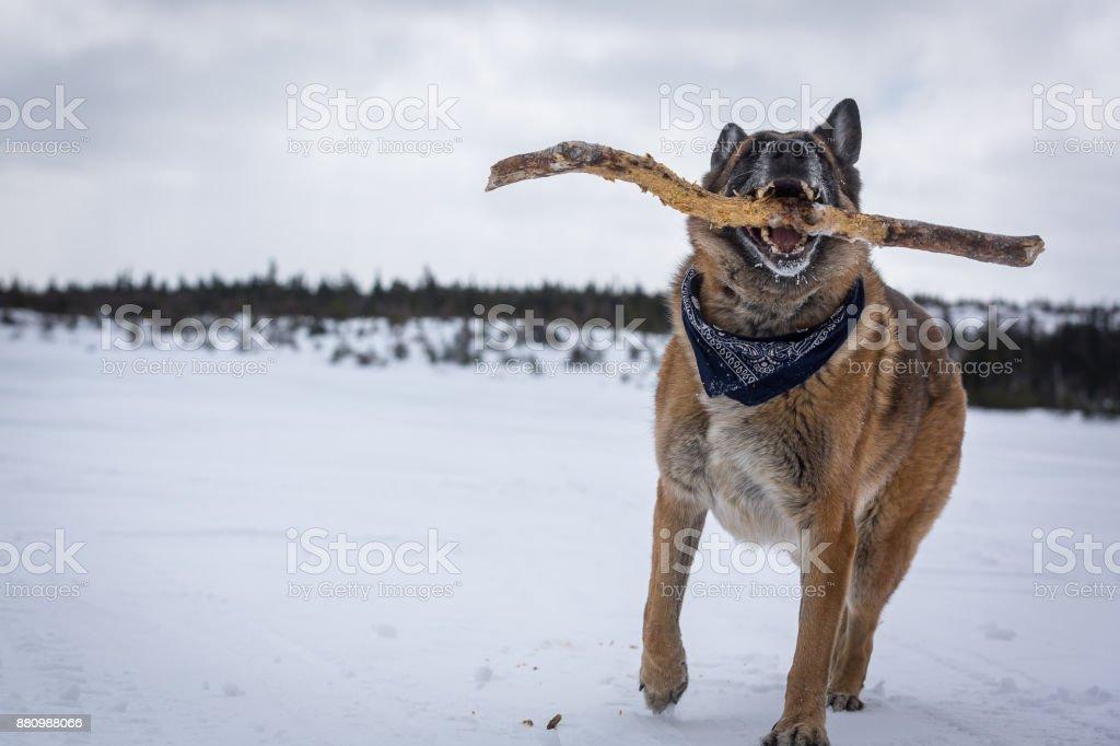 Berger allemand chien jouer avec bâton à côté du lac enneigé - Photo