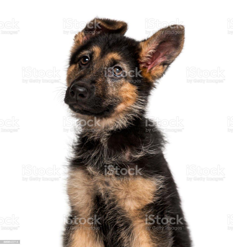 Chiot berger allemand (3 mois) - Photo