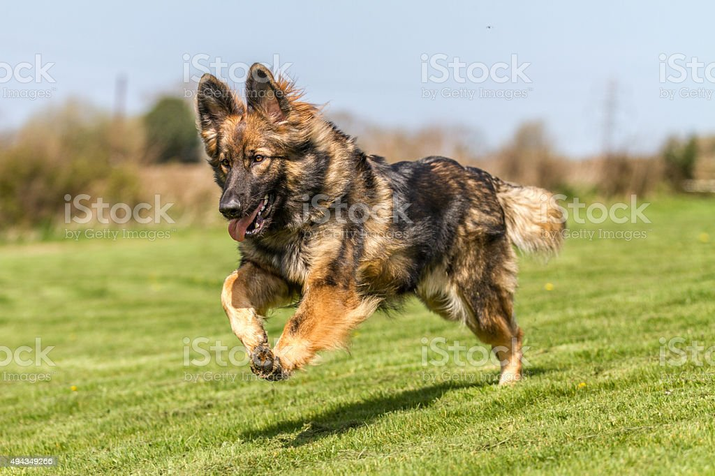 German Shepherd Dog running bouncing across grass. Sable male with...