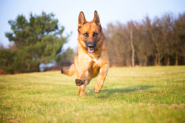 German shepherd dog running in park picture id468490518?b=1&k=6&m=468490518&s=612x612&w=0&h=juedb93mckshxyeftvepunjil1 wlq44lhgw6ew9ng8=
