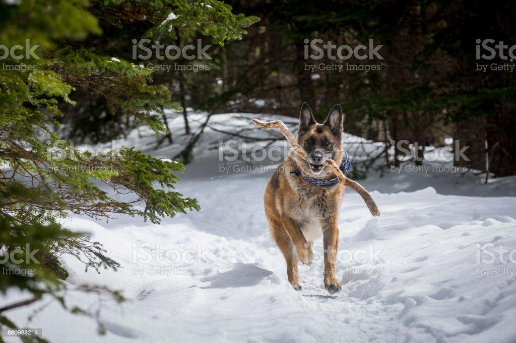 Chien de berger allemand en cours d'exécution avec le bâton dans la bouche vers le bas de neige couverte chemin forestier - Photo