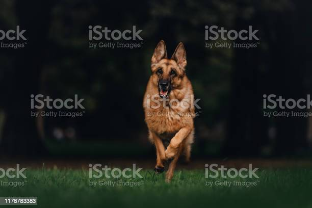 German shepherd dog runs through the park picture id1178783383?b=1&k=6&m=1178783383&s=612x612&h=pr  asigcd2vsnke54pmwezykgi3sckcdvxpz1pxkxm=