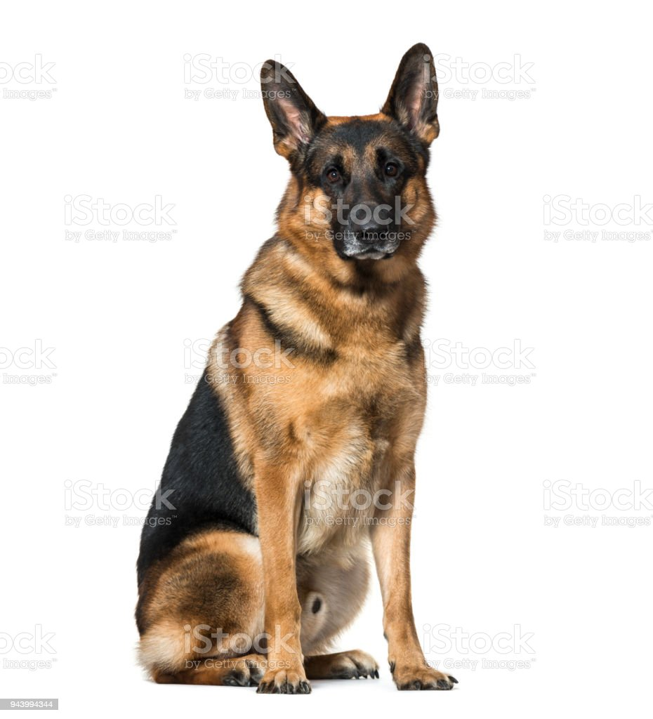 German Shepherd dog sitting against white background stock photo