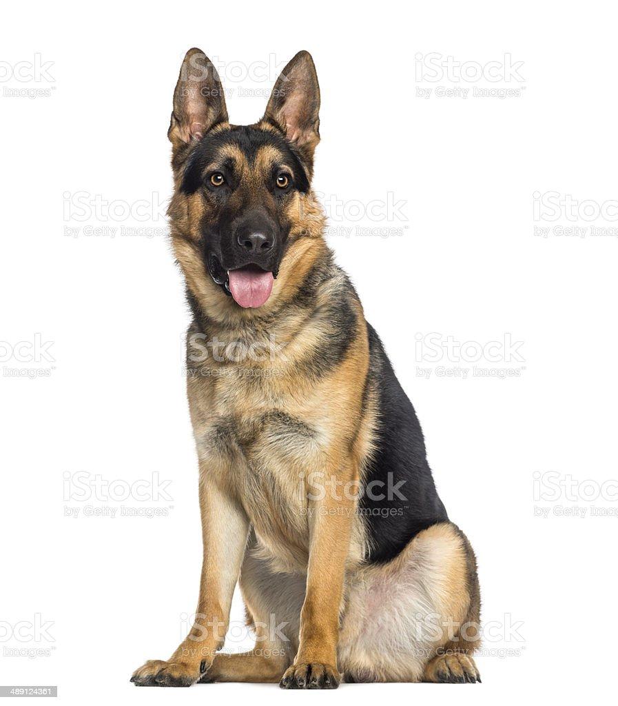 Berger allemand chien assis et Haleter (1 an) - Photo
