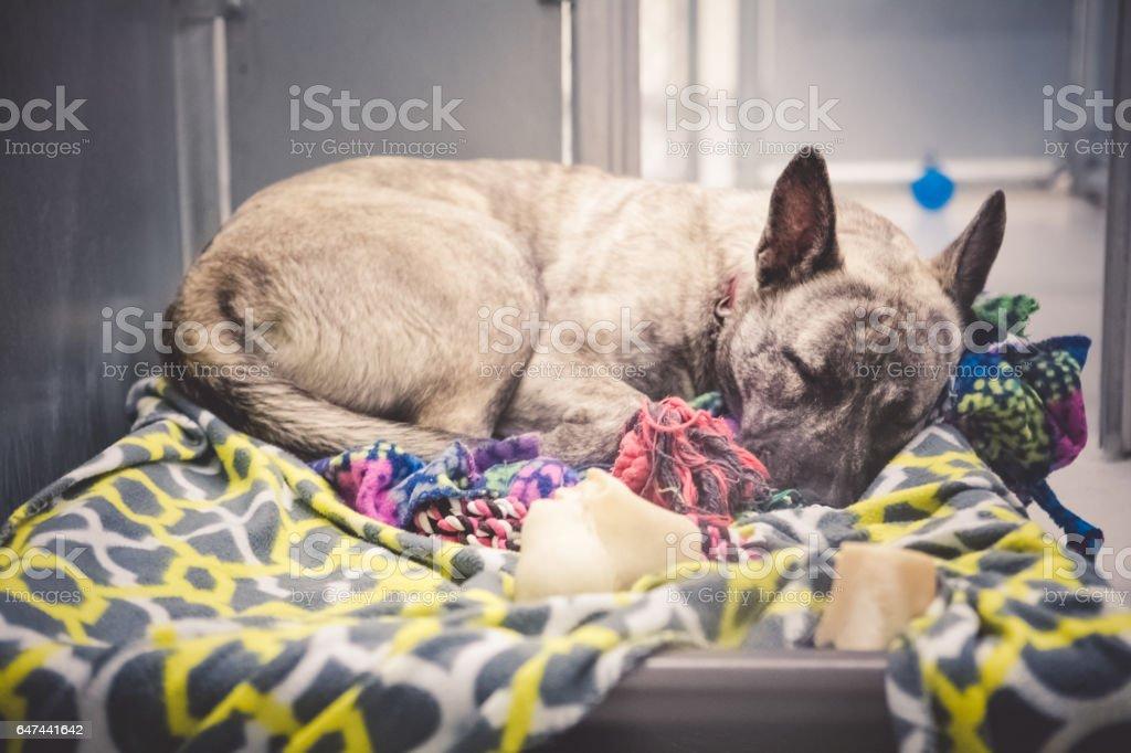German Shepherd Dog Sleeping In Animal Shelter stock photo