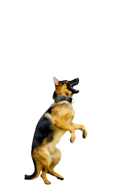 German shepherd dog standing with hind legs picture id894184194?b=1&k=6&m=894184194&s=612x612&w=0&h=ntqrcjjwikhsjgntpqfldigncbuzmzvw6wfzqrxj20m=