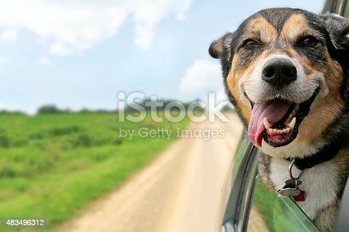 istock German Shepherd Dog Sticking Head Out Driving Car Window 483496312