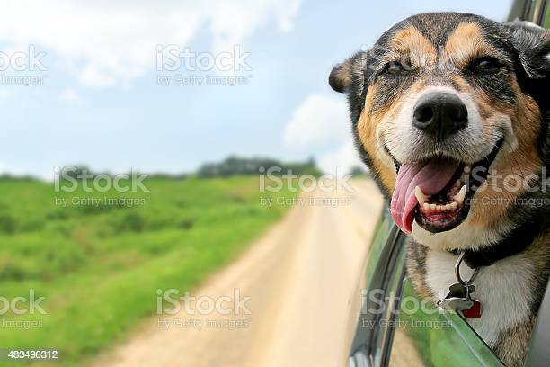 German shepherd dog sticking head out driving car window picture id483496312?b=1&k=6&m=483496312&s=612x612&h=wbtiiik26eu5anq  wykv5kpu0hnlagvryy zxunnnu=
