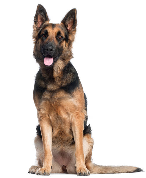 German shepherd dog two years old sitting white background picture id121078994?b=1&k=6&m=121078994&s=612x612&w=0&h=o20nhgvihhm2xgylrbqsfwpzcbrgakjqyn8pvpdculk=