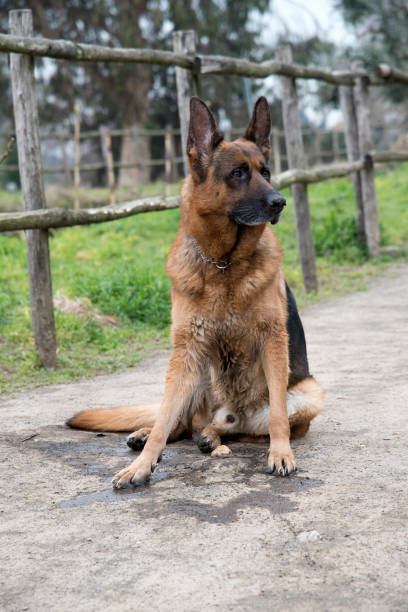 German shepherd dog walking at the park stock photo