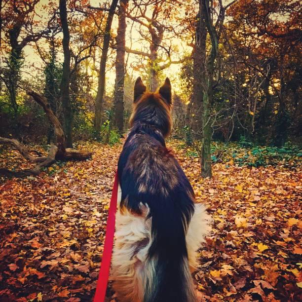 German shepherd dog walking through a forest picture id1038451408?b=1&k=6&m=1038451408&s=612x612&w=0&h=snldxt6froy4es 0ptebupaltgvvmjrkdla85xo24ga=