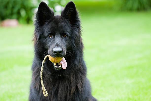 Berger allemand chien avec ballon - Photo