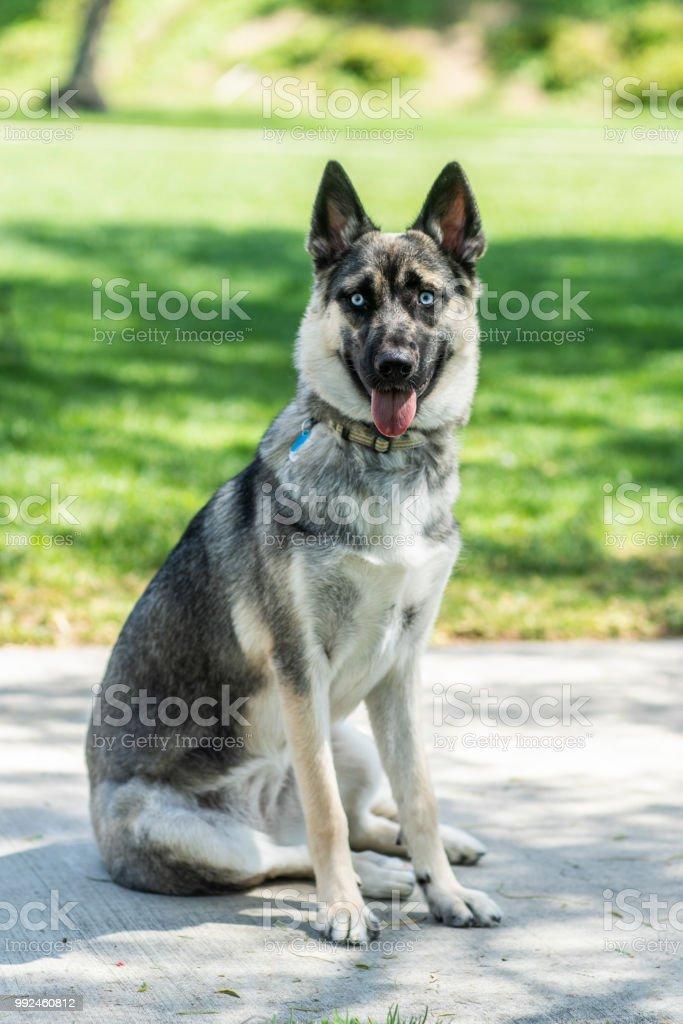 German Shepherd Husky Puppy Stock Photo More Pictures Of Animal