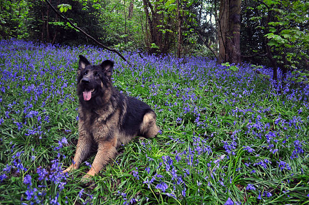 German shepherd in Blue Bells stock photo