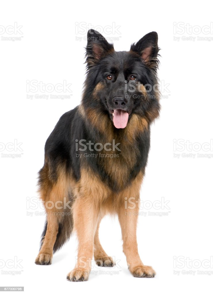 german shepherd (3 years) in front of a white background stock photo