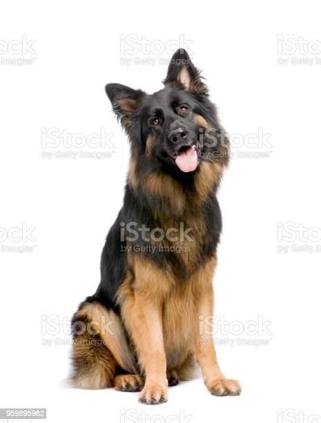 German shepherd in front of a white background picture id959895982?b=1&k=6&m=959895982&s=612x612&h=sywhjllepphfbmdjk5vm7rn9f90fwmq6ipli9t3n eo=