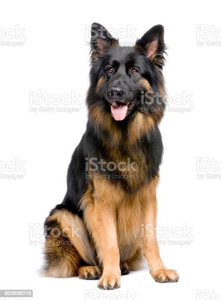 German shepherd in front of a white background picture id959896016?b=1&k=6&m=959896016&s=612x612&h= bimkjygwhcdvwsixmtw0nrm3sgdxinsqj2g 59zpfg=