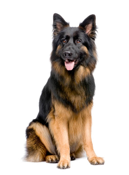 German shepherd in front of a white background picture id959896016?b=1&k=6&m=959896016&s=612x612&w=0&h=cne2fyhybvzsl a 77nydiyoy4ymulkqy16pf1t 82y=