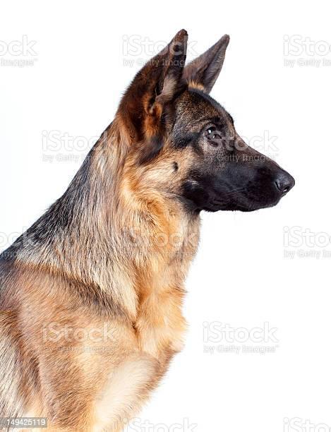 German shepherd isolated on white picture id149425119?b=1&k=6&m=149425119&s=612x612&h=yoayx5vrobiu2c0 hnzoppwouix0pq p9ag8fx ck s=