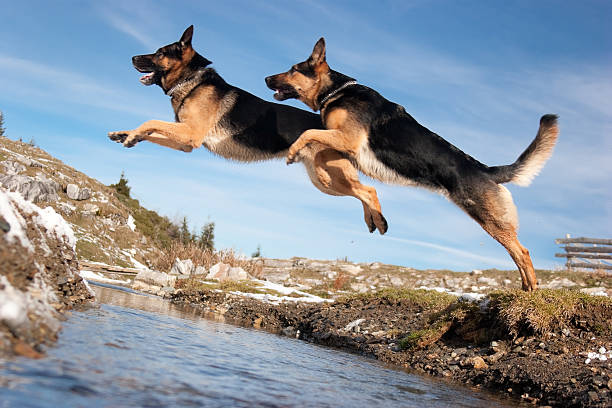 German shepherd jumping over spring picture id109718537?b=1&k=6&m=109718537&s=612x612&w=0&h=t3hb kwaxgtbqrb5bofvfakduswiumxokp2vxpp6kxc=