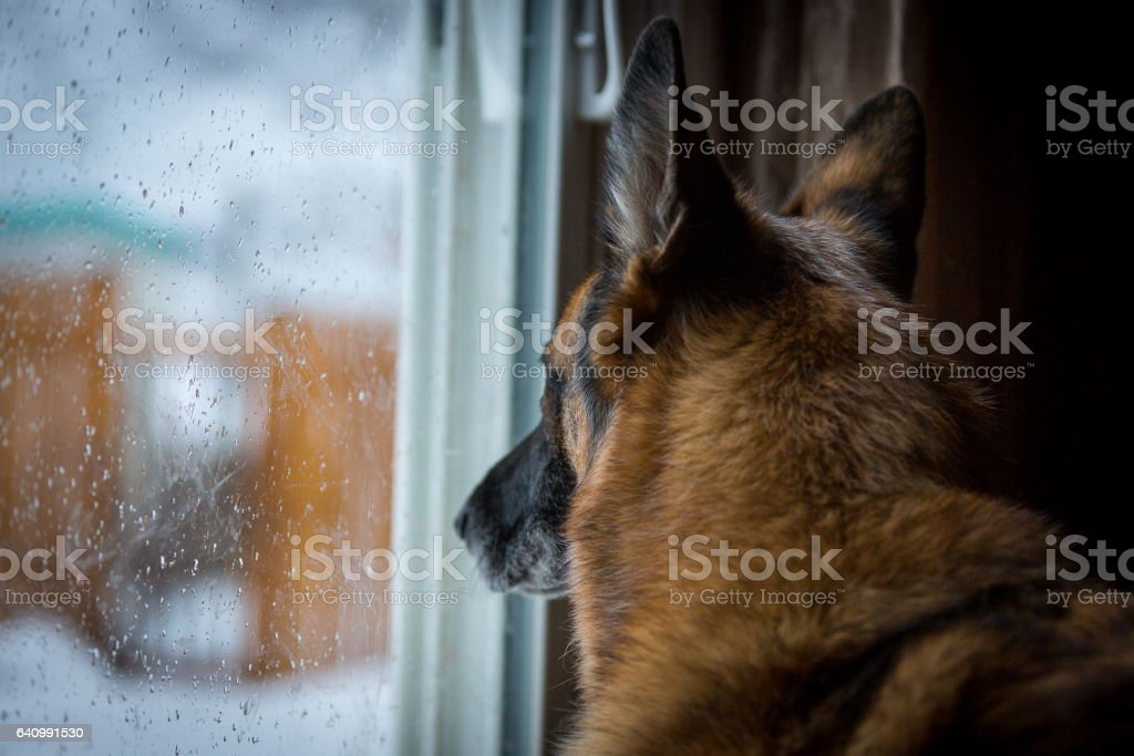 German Shepherd looking out patio door at snow covered backyard - Photo