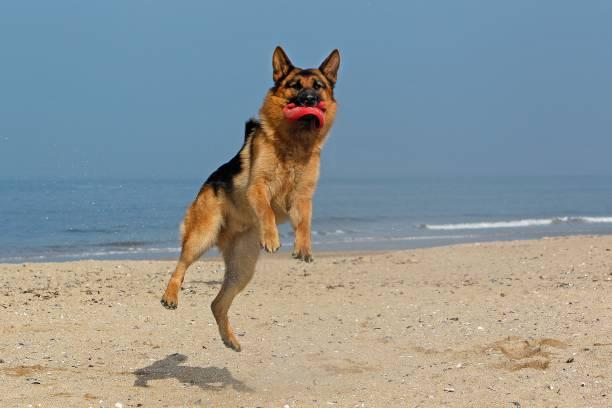 German shepherd male catching frisbee beach in normandy picture id1256990354?b=1&k=6&m=1256990354&s=612x612&w=0&h=hlbjkc90l4 intnsxbnsyyojglwxcz2t2l0 poglzj0=