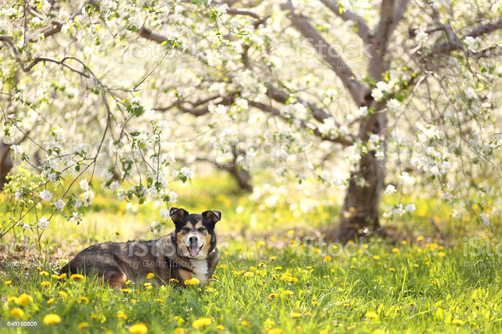 German Shepherd Mix Dog Laying in Flower Meadow at Apple Orchard – Foto