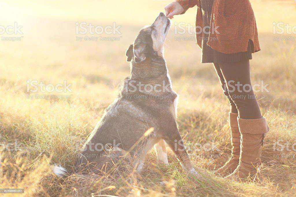 German Shepherd Mix Dog Sitting Good and Getting Treat stock photo
