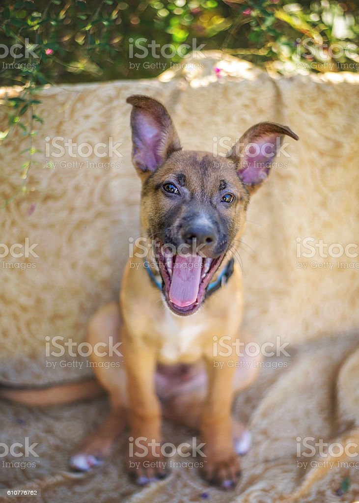 German Shepherd Mix Puppy stock photo