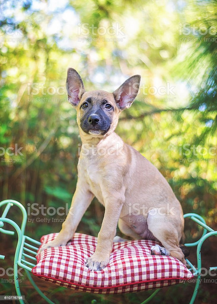 German Shepherd Mix Puppy Posing on Chair stock photo
